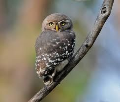 Athene blewitti: The Forest Owlet
