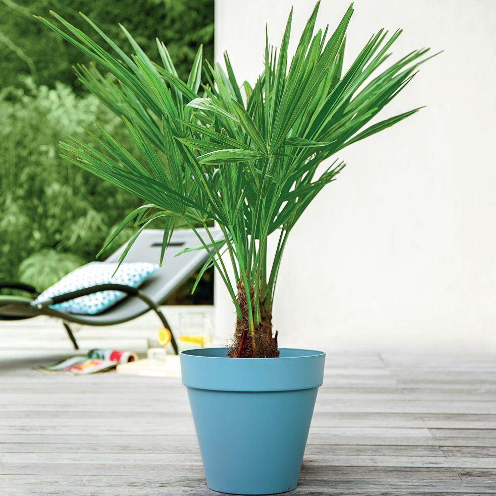 palmier chanvre jardin palmiers planter un palmier. Black Bedroom Furniture Sets. Home Design Ideas