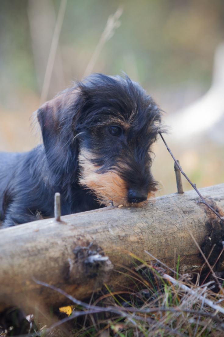 Young And Cute Wire Haired Miniature Dachshund Puppy Found Something Interesting From A Fallen Tree On F Dachshund Dog Wire Haired Dachshund Miniature Puppies