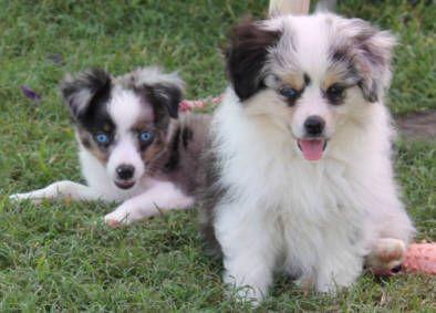 Justa Little Aussie Toy Mini Australian Shepherd Miniature Teacup Aussie For Sale Tasaa Breeders Asdr Puppies For Sal Australian Shepherd Aussie Dogs Puppies