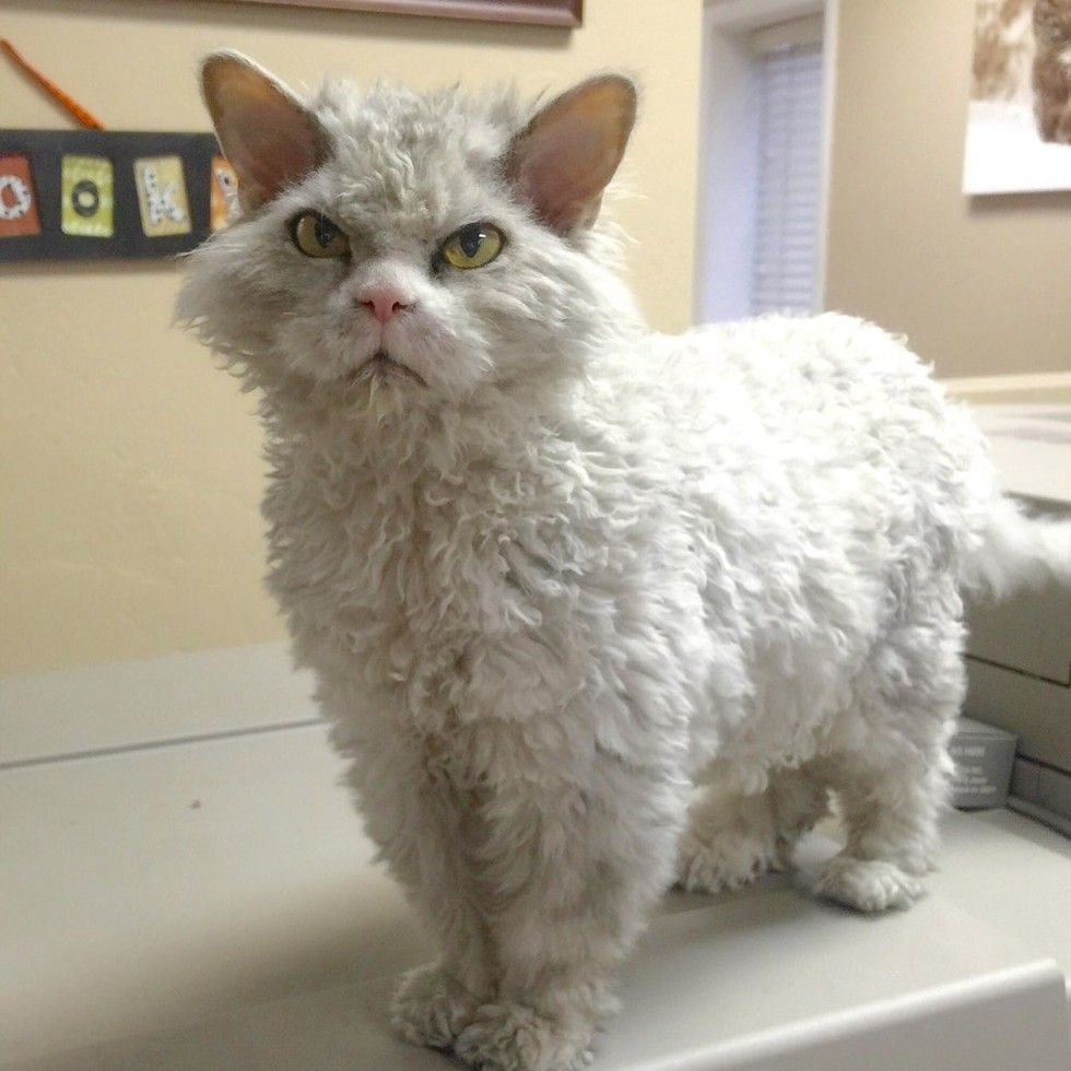 Frowning Kitty Has Ability To Stare And Glare Without Moving Gorgeous Cats Selkirk Rex Rex Cat