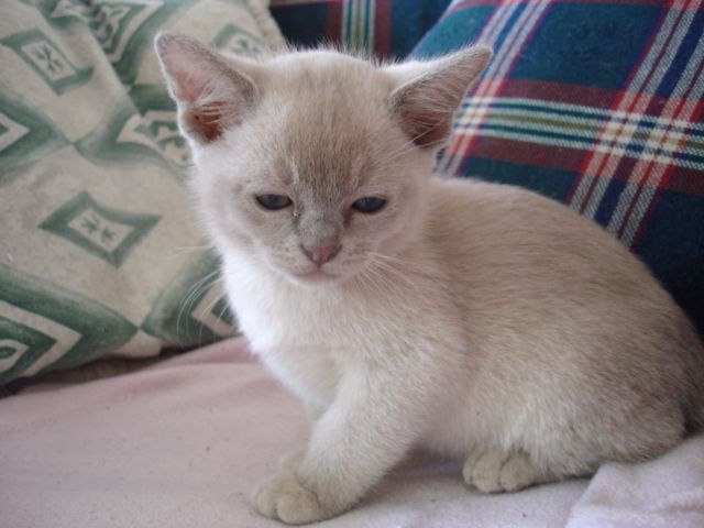 Lilac Burmese Cat Google Search Burmese Kittens Burmese Cat Kitten Care