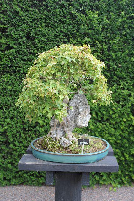 Acer Buergerianum Bonsai Bonsai2 Bonsai Acer Y Garden