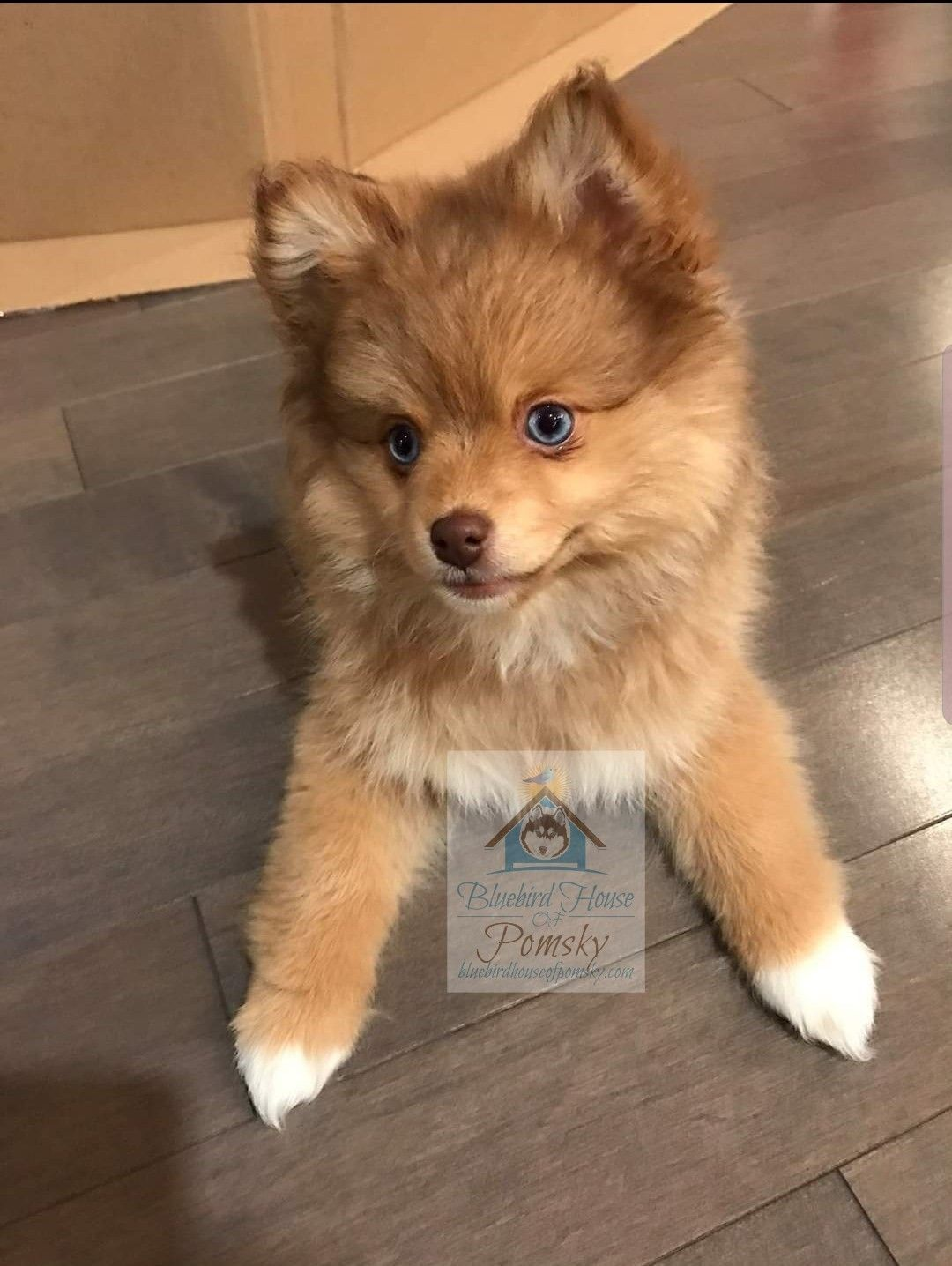 Pomeranian Breeders Mn : pomeranian, breeders, Chocolate, Sable, Pomsky, Puppy, @Bluebird, House, Puppies,, Puppies, Eyes,