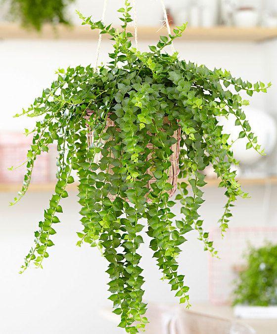 Bijzondere hangplant afkomstig uit tropisch zuid oost azi die ook wel bekend staat als de - Plantes d int u00e9rieur faciles d entretien ...