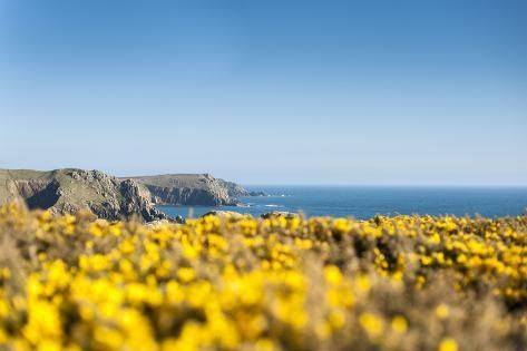 Photographic Print: Gorse covered cliffs along Cornish coastline, westernmost part of British Isles, Cornwall, England by Alex Treadway : 24x16in #britishisles