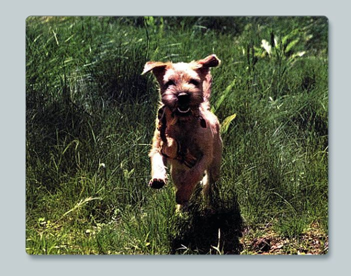 Skyline Border Terriers Ca Border Terrier Terrier Brown Dog