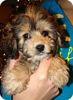 Wheeling Wv Cavalier King Charles Spaniel Bichon Frise Mix Meet Icicle A Puppy For Adoption Http Www Adoptapet Com With Images Kitten Adoption Puppy Adoption Pets