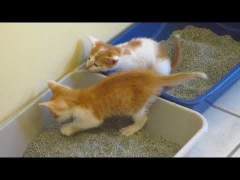 886 Peaches Stalking Cream While He Is Using The Litter Box Foster Kittens 4 Weeks Old Youtube Foster Kittens Kittens Litter Box