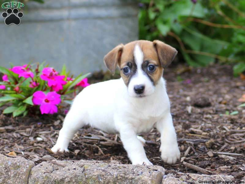 Jack Russell Terrier Puppies For Sale Terrier Puppies Jack