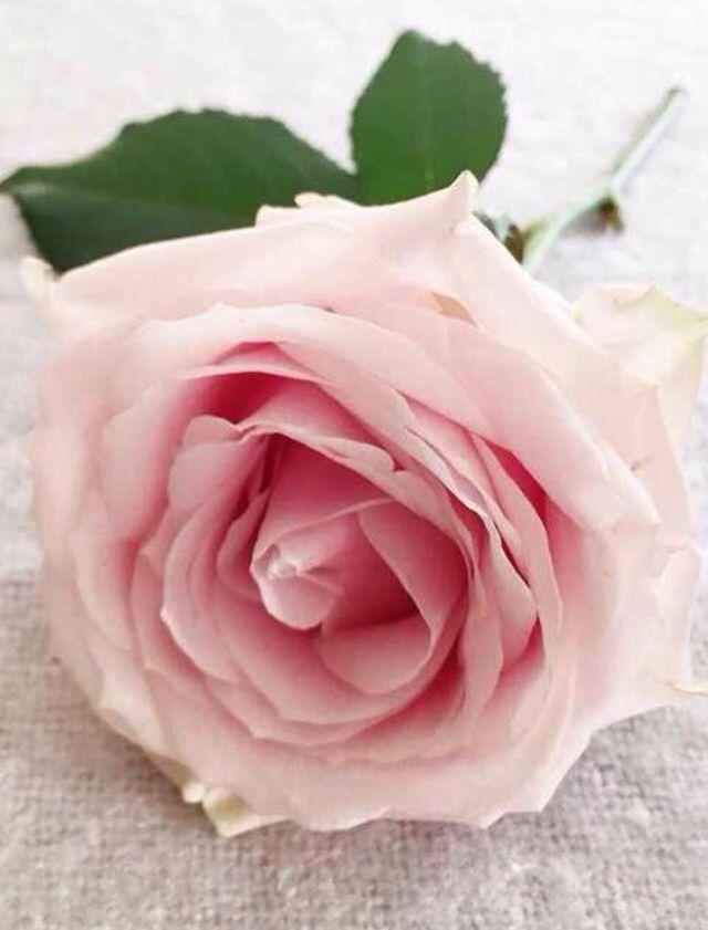 Sweet Rose Rosas Cor De Rosa Cores