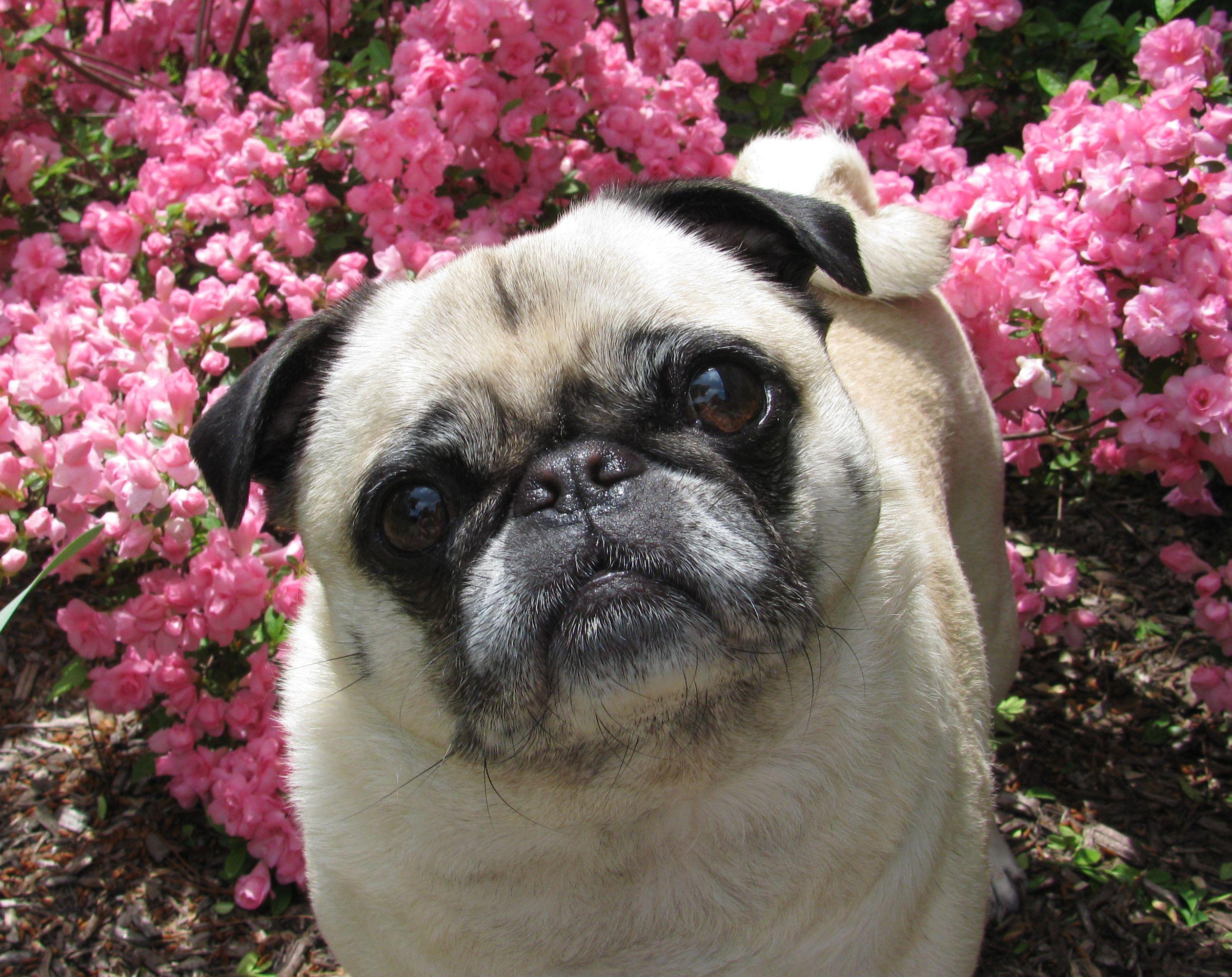 Spring Puggie!