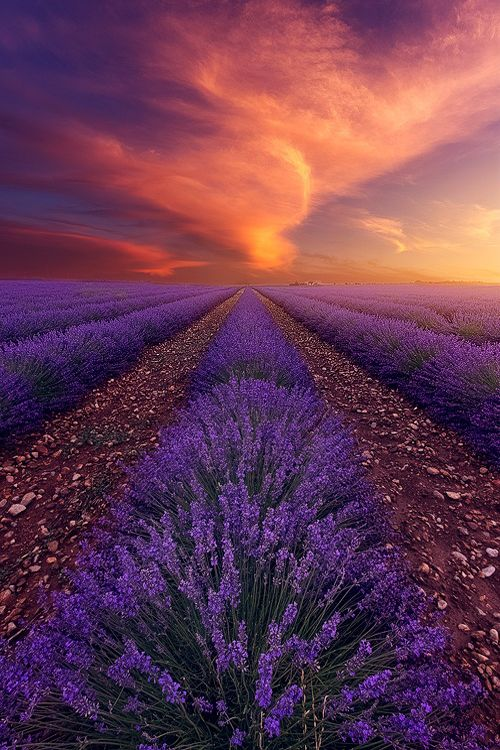 Ah Lavendar, do you see a field of relaxation or an aphrodisiac for the love making? I see both.