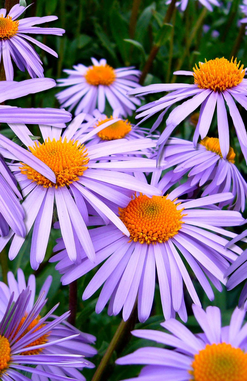 The 35 best flower photos beautiful flowers flower and aster i brought together the most beautiful flowers here you will find the 35 the best izmirmasajfo