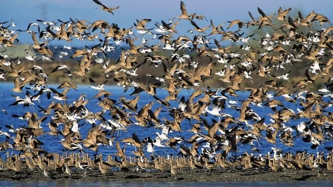 Godwit Days: Humboldt County on the Wing | NBC Bay Area