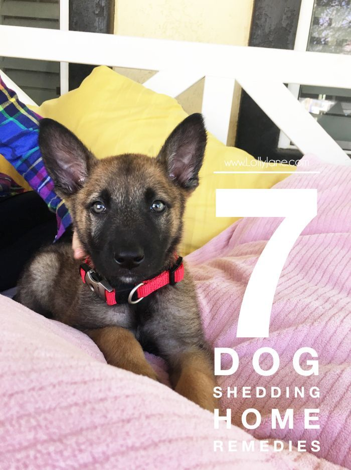 7 Dog Shedding Home Remedies Keep Your House Fur Free Lolly Jane Dog Shedding Dog Shedding Remedies Dog Remedies