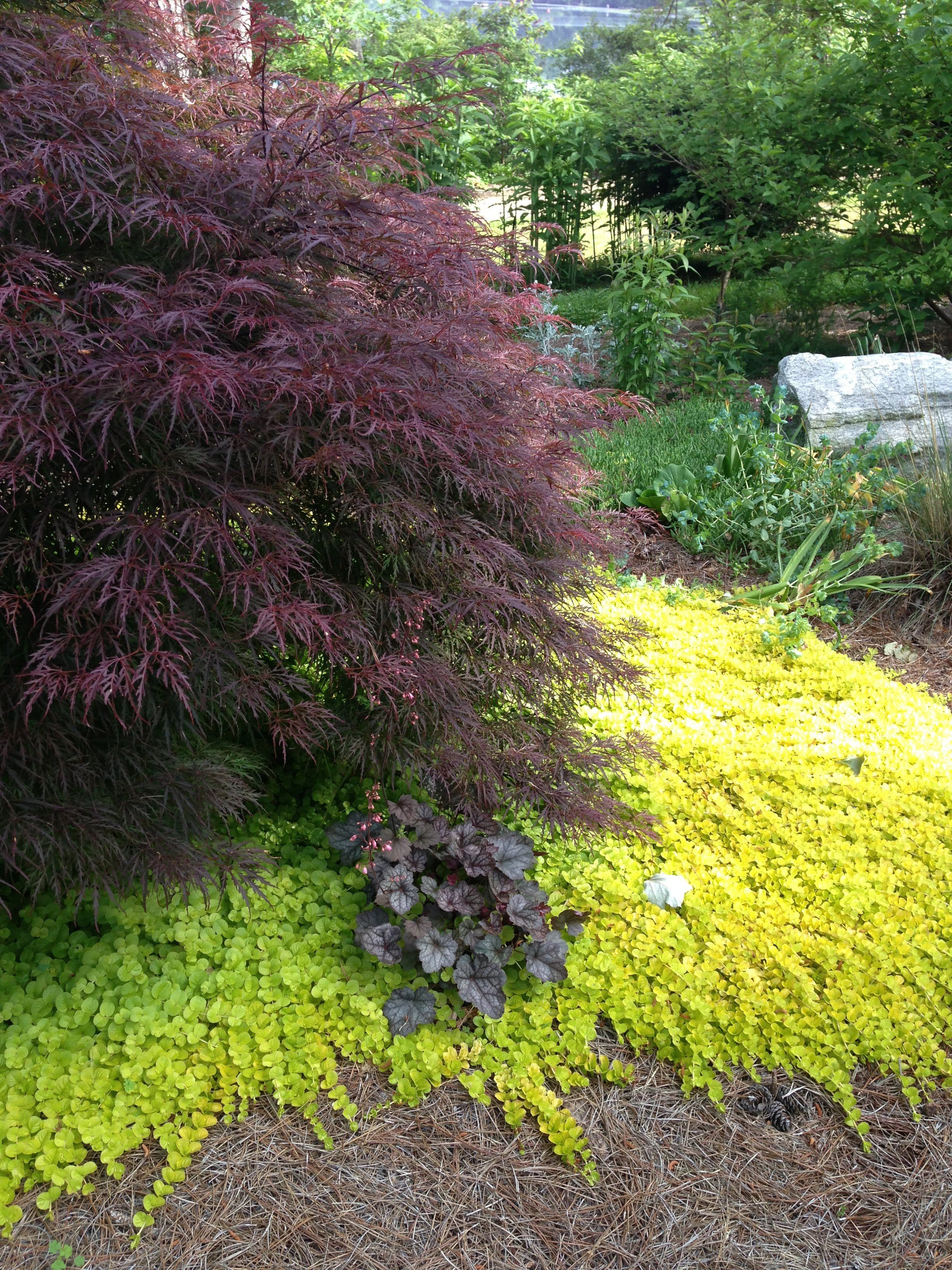 captivating creeping jenny for your garden and landscaping ideas  lysimachia nummularia