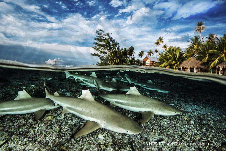 Vincent Truchet 1440x961 Requin à pointes noires