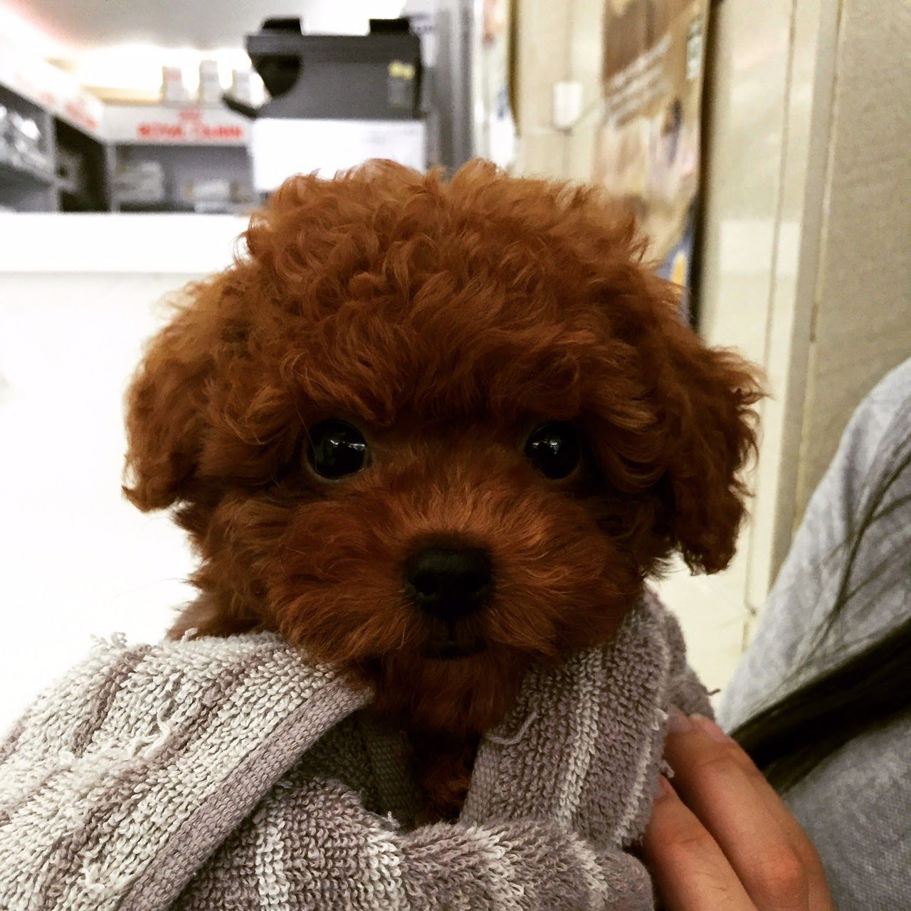 Mochi S Weight And Height Chart Toy Poodle Red