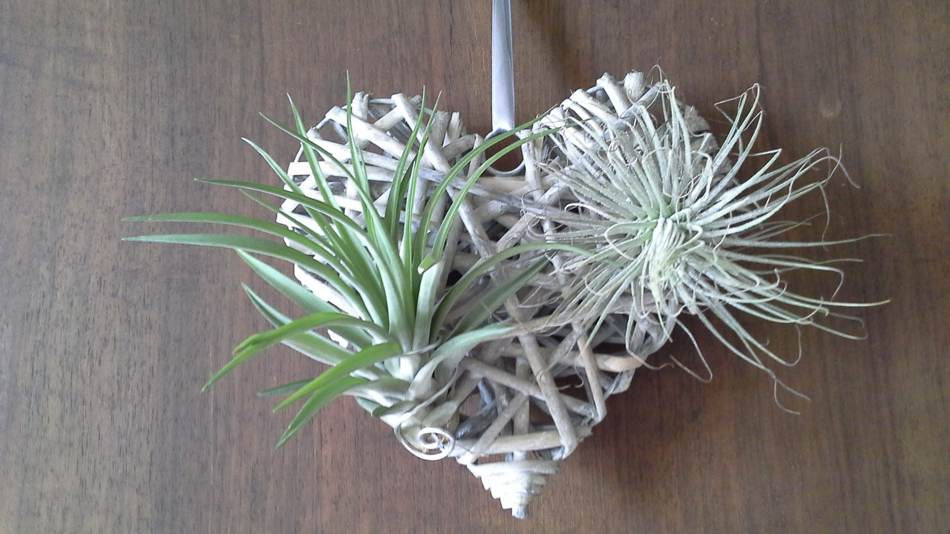 Les Tillandsias Filles De L Air cadeau original ⚓ tillandsia ⚓ fille de l ' air ⚓ plante