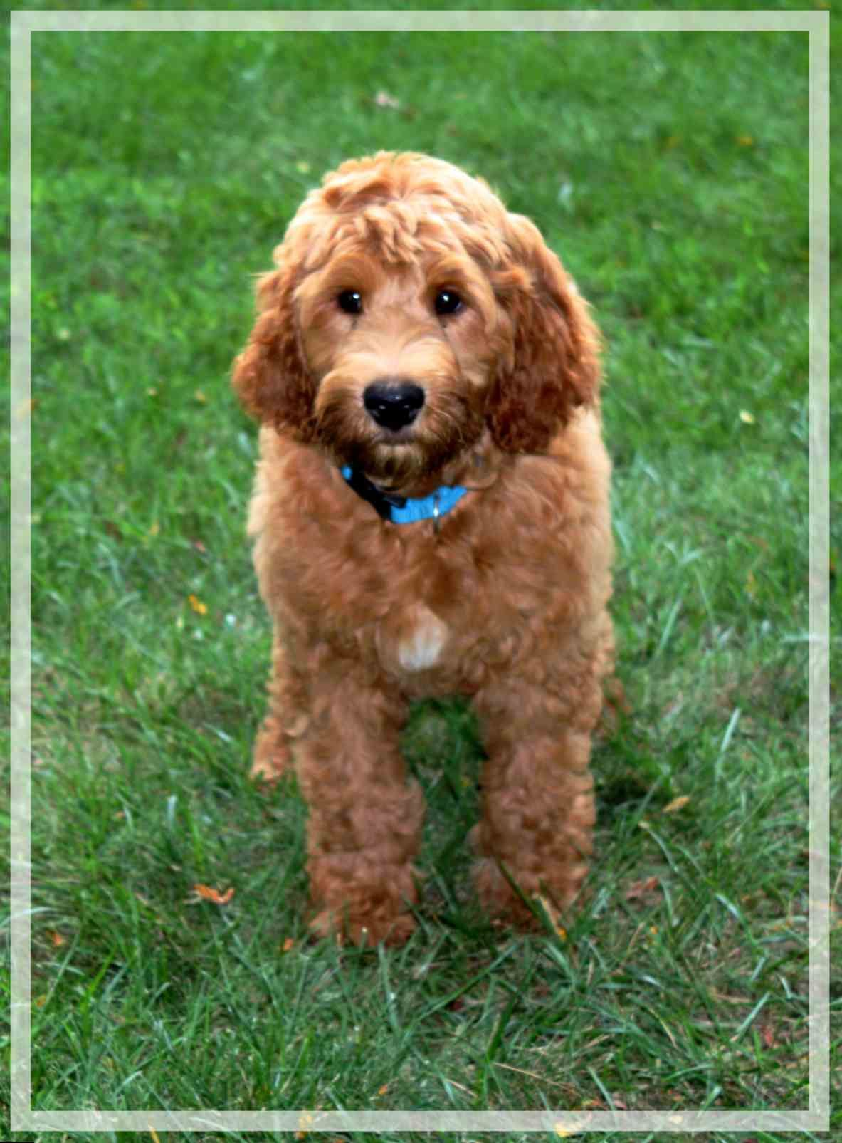 Welcome To Aussie Labradoodle Australian Labradoodle Puppies