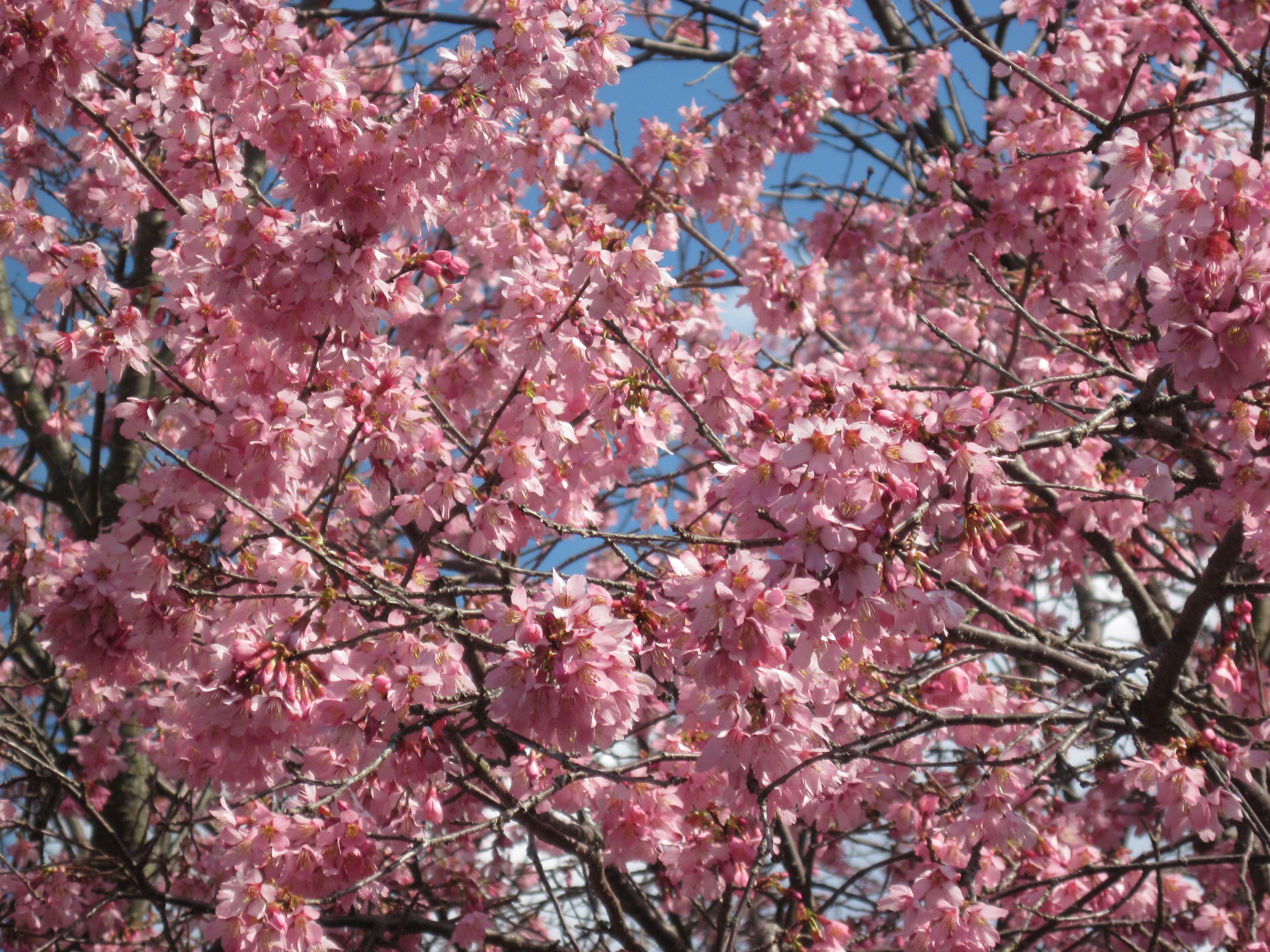 Okami Cherry Blooming In March My Retreats Pinterest Bloom