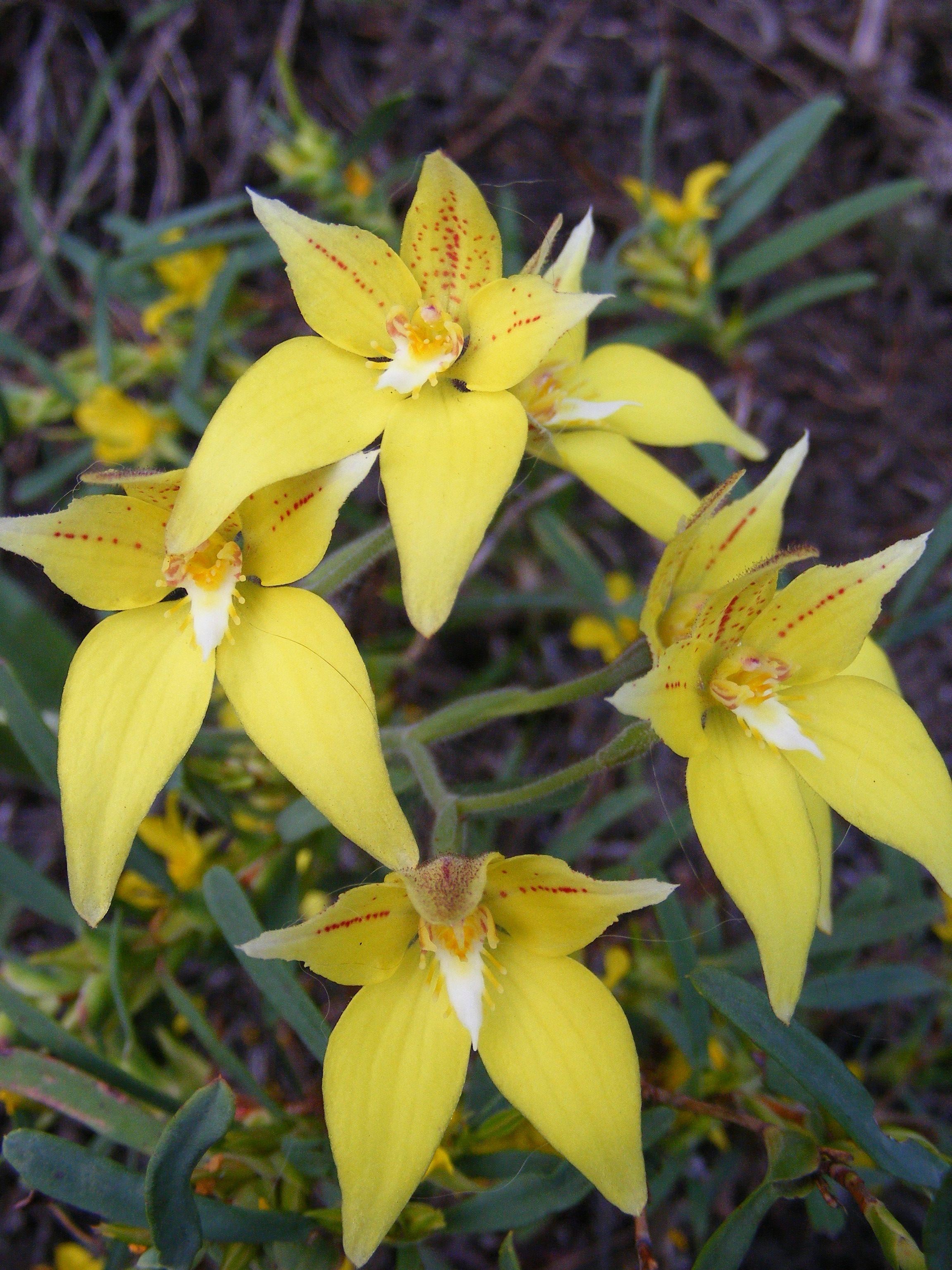 Cowslip Orchids Australian Wildflowers Australian Native Plants Orchids