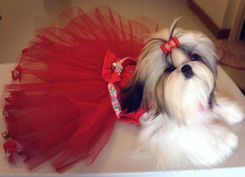 Shiki In A Red Tutu Dress And Red Bow Shihtzu Shih Tzu Red Tutu Red Bow