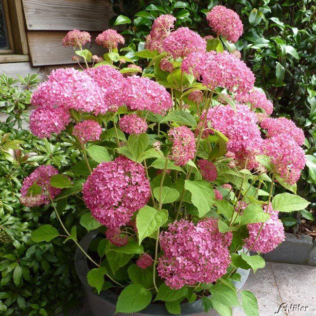 Hortensja Drzewiasta Pink Annabelle Hydrangea Hortensja