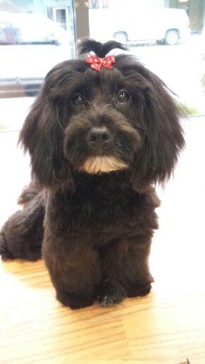 Pet Salon Malti Poo Maltese Poodle Mix