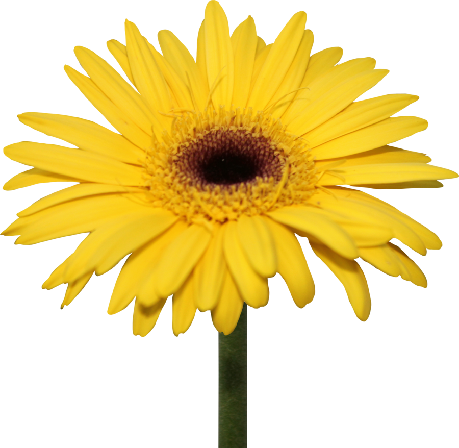 Yellow Gerber Daisy Png By Thy Darkest Hour On Deviantart Gerber Daisies Yellow Flowers Daisy