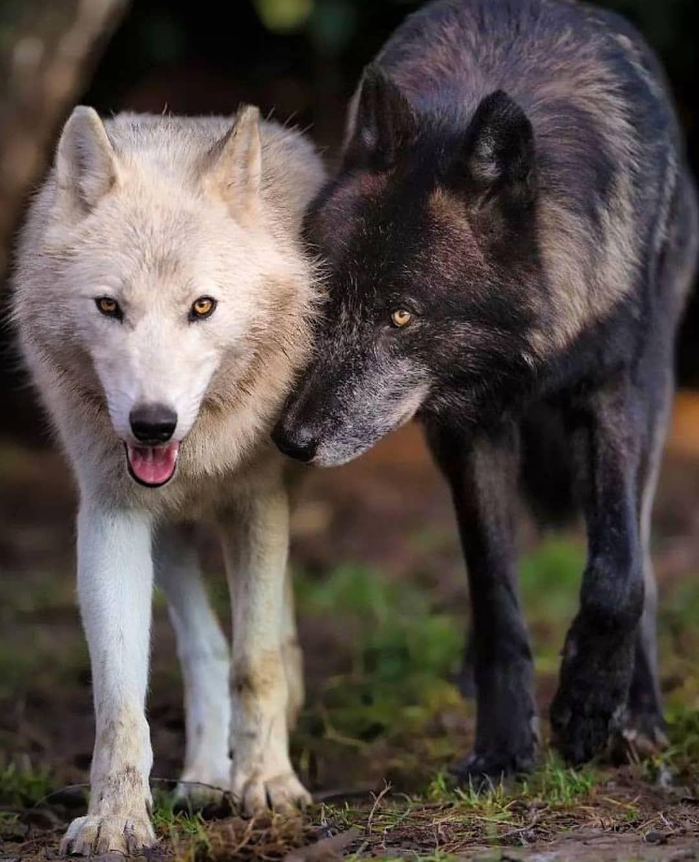 картинка черного волка и белой волчицы вообще отважилась