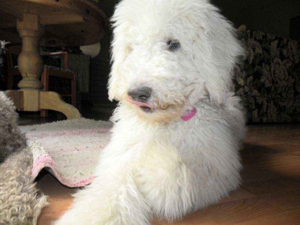 Pele Standard Poodle Dreamydoodlescom Labradoodle