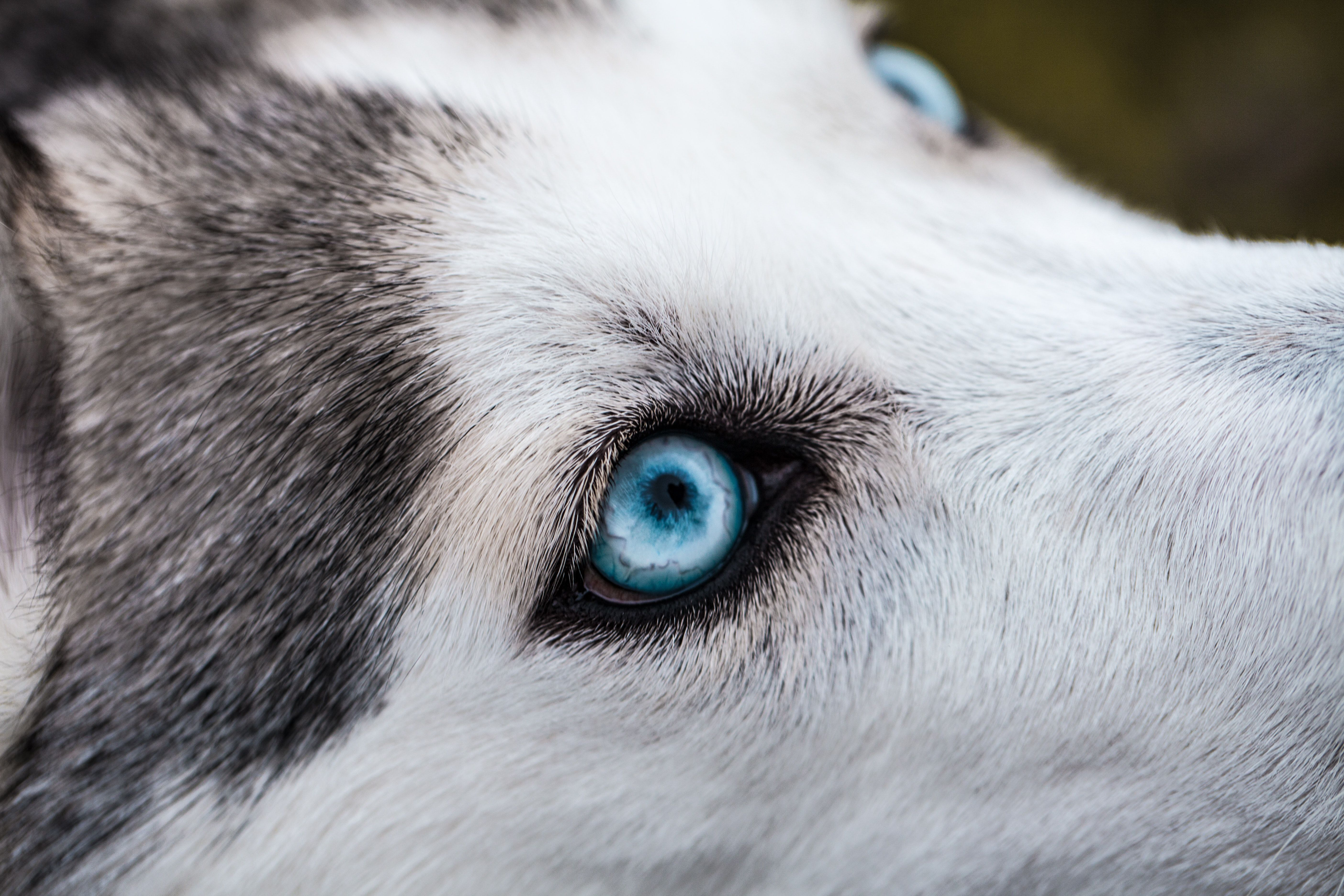 Siberian Husky Blue Eyes Baby Huskies With Blue Eyes Blue Eyes