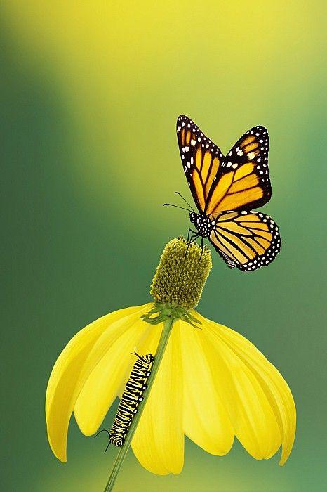 Caterpillar To Butterflybritish 蝶 オオカバマダラ モンキチョウ