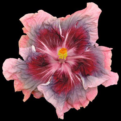 Hidden Valley Hibiscus Hibiscus Plant Flower Seeds Hibiscus Flowers