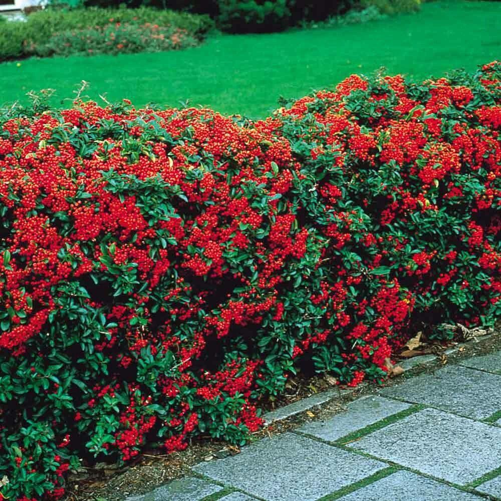 44 Large Zone 7 Shrubs Ideas Shrubs Plants Garden Shrubs