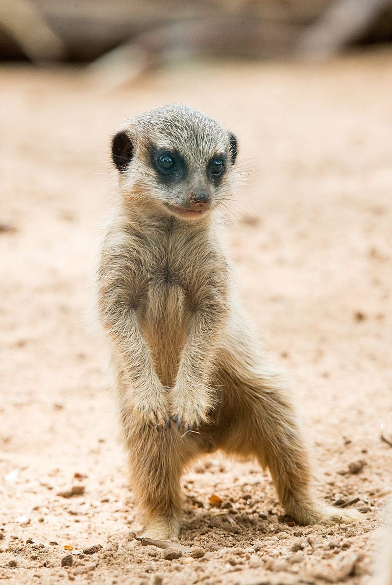 Taronga Zoo's Meerkat Pups Given Names Baby meerkat