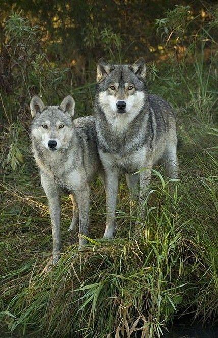 Pin Van Lisa Ehlert Op Wolf Pinterest Lobos Lobos Salvajes En