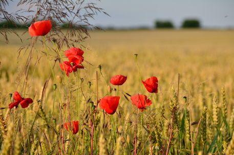 Mohnblumen Am Feldrand Von Jorg Boeck Bei Artflakes Com Als Poster Oder Kunstdruck Pretty Flowers Plants Flowers