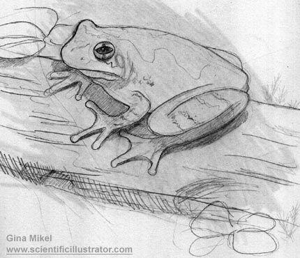 Botanical Frog Illustrations Copes Gray Tree Frog Sketch