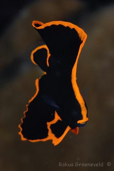 Happy Halloween Juvenile Pinnatus Batfish For Experts Only I M Looking Forward To Getting This Guy Into Petc Beautiful Sea Creatures Batfish Sea Animals