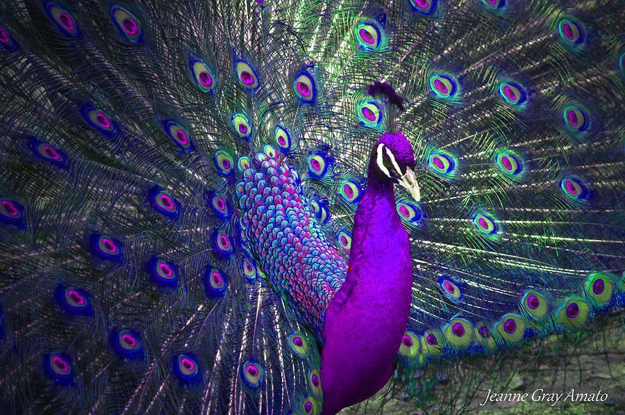 Preening Purple Peacock Birds Animals Beautiful Peacock