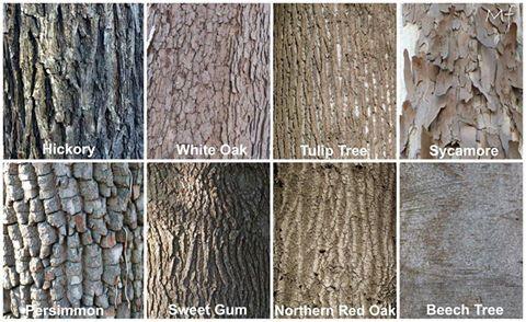 Timeline Photos Potowmack Chapter Va Native Plant Society Facebook Tree Bark Identification Tree Id Tree Bark