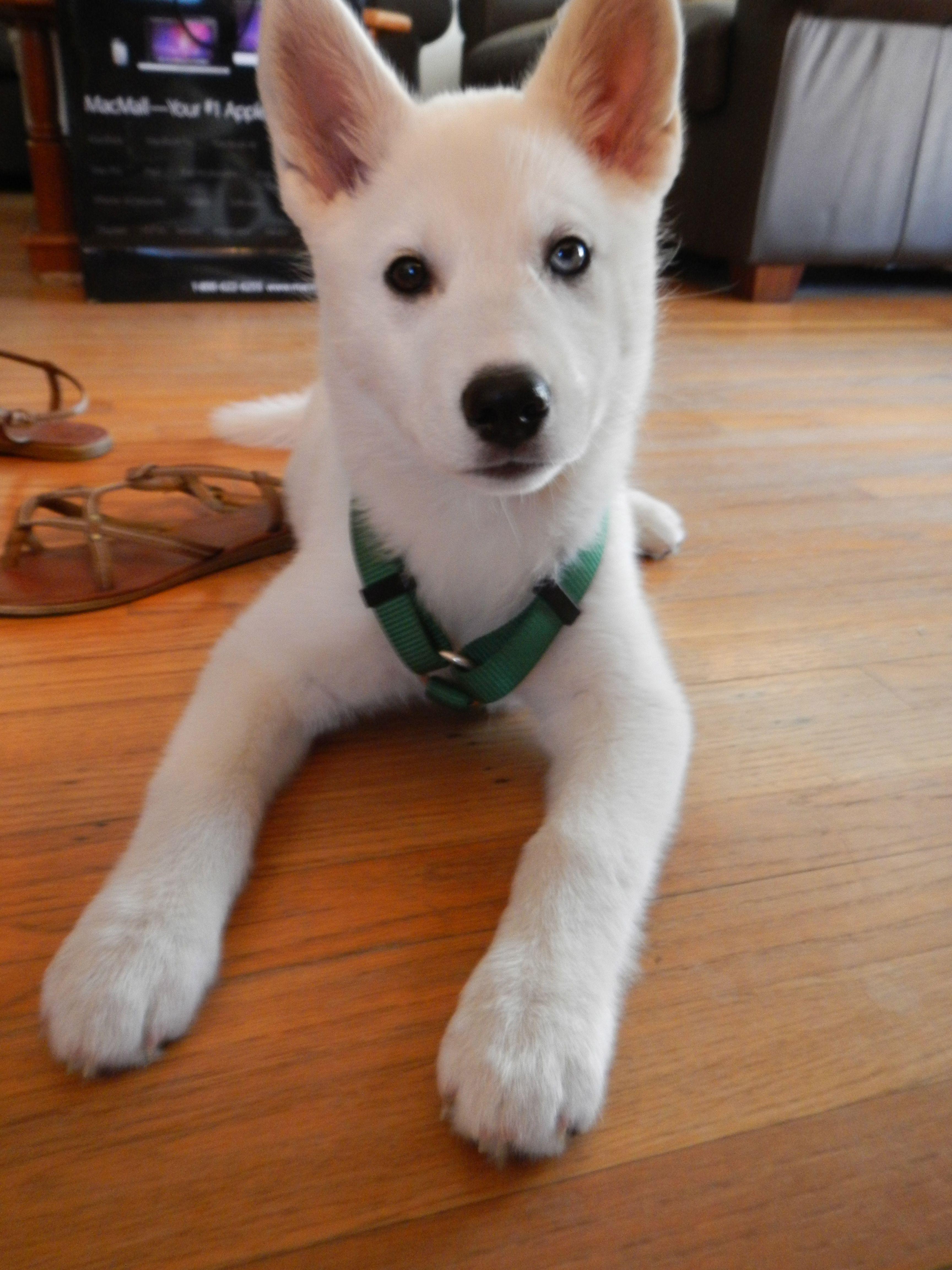 Solid White Husky A Fellow Luna White Husky White Husky