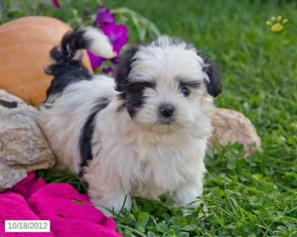 Snoopy Maltipoo Puppy For Sale In Quarryville Pa Maltipoo Puppy For Sale Maltipoo Maltipoo Puppy Puppies