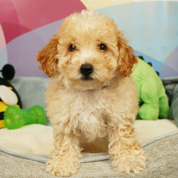 Standard Poodle Puppies For Sale Poodle Puppies For Sale Poodle