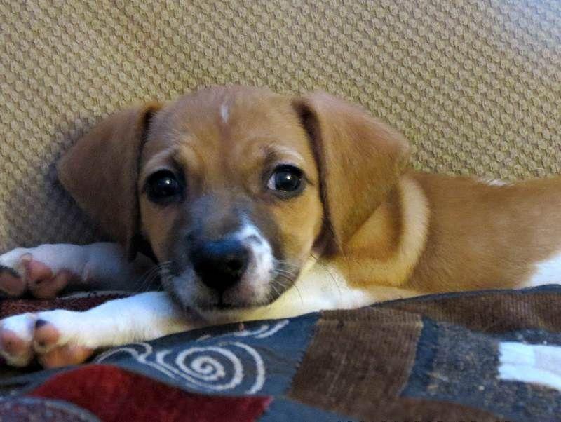 Adopt Puppy Precious On Puppy Pads Dachshund Mix Puppies