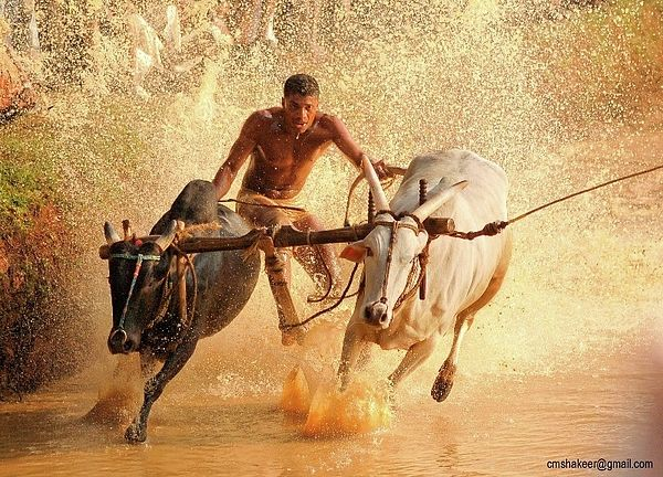 Bull Race Kerala By Faizal Edassery Kerala Surf Art Wedding