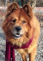 Adopt Finn On Chow Chow Dogs Dogs Chow Chow